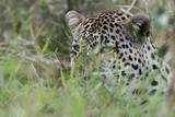 Leopard (Panthera Pardus), Mala Mala Game Reserve, South Africa, Africa Photographic Print by  Sergio