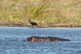 Hippopotamus (Hippopotamus Amphibius), Khwai Concession, Okavango Delta, Botswana, Africa Photographic Print by  Sergio