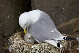 Black-Legged Kittiwake (Rissa Tridactyla) Adult and Chick on the Nest, Iceland, Polar Regions Papier Photo par  James