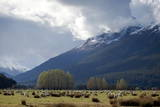Sheep in Dart River Valley, Glenorchy, Queenstown, South Island, New Zealand, Pacific Photographic Print by  Nick