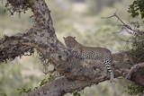 Leopard (Panthera Pardus) in a Fig Tree, Kruger National Park, South Africa, Africa Photographic Print by  James