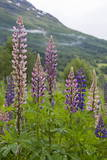Pink and Purple Wild Lupins (Lupinus) in Olden, Norway, Scandinavia, Europe Photographic Print by  Eleanor