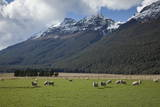 Sheep and Mountains Near Glenorchy, Queenstown, South Island, New Zealand, Pacific Photographic Print by  Nick