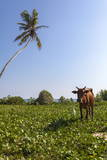 Cow and Crane, Who Share a Simbiotic Relationship, Talpe, Sri Lanka, Asia Photographic Print by  Charlie
