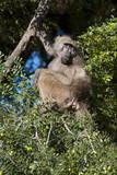 Chacma Baboon (Papio Ursinus), Mashatu Game Reserve, Botswana, Africa Photographic Print by  Sergio