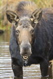 Moose (Alces Alces) Cow in Pond Breaks from Filter Feeding and Stares at Camera Photographic Print by  Eleanor
