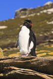 Rockhopper Penguin (Eudyptes Chrysocome) Poses on a Rock Photographic Print by  Eleanor
