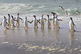 Gentoo Penguins (Pygoscelis Papua) Emerging from the Sea Photographic Print by  Eleanor