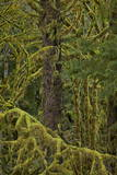 Moss-Covered Branches in the Rainforest Photographic Print by  James