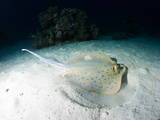 Blue Spotted Ribbontail Ray (Taeniura Lemma) Feeds on Small Creatures under the Sand Photographic Print by Louise Murray