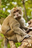 Crab-Eating (Long-Tailed) Macaque Monkey Photographic Print by  Rob
