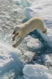 Adult Polar Bear (Ursus Maritimus) on Ice Floe Lámina fotográfica por  Michael