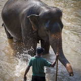 An Adult Elephant (Elephantidae) Washes in the River Photographic Print by Charlie Harding