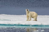Adult Polar Bear (Ursus Maritimus) on Ice Floe Photographic Print by  Michael