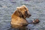 Kamchatka Brown Bear (Ursus Arctos Beringianus) Eating Salmon Photographic Print by  Michael
