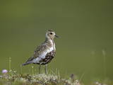 European Golden Plover (Pluvialis Apricaria), Lake Myvatn, Iceland, Polar Regions Photographic Print by James Hager