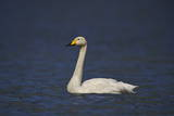 Whooper Swan (Cygnus Cygnus) Swimming, Iceland, Polar Regions Photographic Print by  James