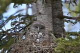 Great Gray Owl (Great Grey Owl) (Strix Nebulosa) Female and 11-Day-Old Chicks Photographic Print by  James