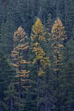 Western Larch (Larix Occidentalis) in the Fall Photographic Print by  James