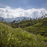 Tea Plantations in the Hill Country, Sri Lanka, Asia Photographic Print by Charlie Harding