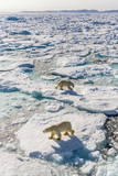 Adult Polar Bears (Ursus Maritimus) Photographic Print by  Michael