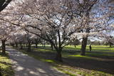 Flowering Cherry Trees in Blossom Along Harper Avenue Photographic Print by  Nick