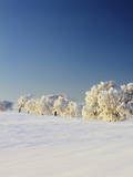 Snow-Covered Birch Trees, Schauinsland Mountain, Black Forest, Baden Wurttemberg, Germany, Europe Photographic Print by Marcus Lange