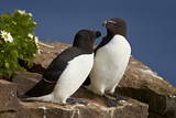 Razorbill (Alca Torda) Pair, Iceland, Polar Regions Photographie par  James