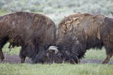 Two Bison (Bison Bison) Bulls Sparring Photographic Print by  James