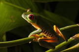Red-Eyed Tree Frog (Agalychnis Callidryas) Photographic Print by  Sergio