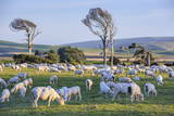 Sheep Grazing in the Green Fields of the Catlins, South Island, New Zealand, Pacific Photographic Print by  Michael