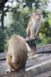 Monkeys, Royal Rock Temple, Dambulla, Sri Lanka, Asia Photographic Print by  Charlie