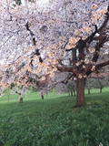 Blooming Cherry Tree, Bissinger Tal Valley, Swabian Alb, Baden Wurttemberg, Germany, Europe Photographic Print by Markus Lange