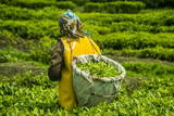 Tea Plantation in the Virunga Mountains, Rwanda, Africa Fotodruck von  Michael