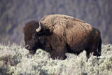 Bison (Bison Bison) Bull Photographic Print by  James