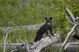 Black Bear (Ursus Americanus) Cub of the Year Photographic Print by  James