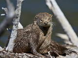 River Otter (Lutra Canadensis) Photographic Print by James Hager