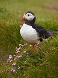 Atlantic Puffin (Fratercula Arctica), Iceland, Polar Regions Photographic Print by James Hager