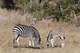 Zebra, Khwai Concession, Okavango Delta, Botswana, Africa Photographic Print by  Sergio