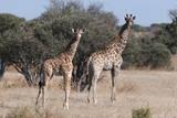 Southern Giraffe (Giraffa Camelopardalis), Mashatu Game Reserve, Botswana, Africa Photographic Print by  Sergio