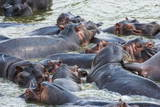 Hippopotamus (Hippopotamus Amphibious) Group Bathing in the Water Photographic Print by  Michael