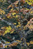 Bigleaf Maple (Oregon Maple) (Acer Macrophyllum) in the Fall Photographic Print by  James