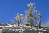 Ice Encrusted Dead Trees Against Clear Skies Photographic Print by  Eleanor