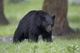 Black Bear (Ursus Americanus) Photographic Print by  James