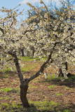 Almond Orchard in Blossom, Puglia, Italy, Europe Photographic Print by  Martin