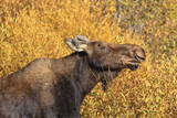 Moose (Alces Alces) Cow in Profile Photographic Print by  Eleanor