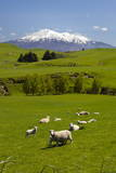 Sheep Grazing Beneath Mount Ruapehu Papier Photo par  Stuart