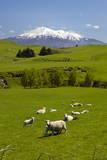 Sheep Grazing Beneath Mount Ruapehu Fotografisk trykk av  Stuart