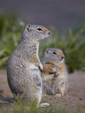 Uinta Ground Squirrel (Urocitellus Armatus) Adult and Young Photographic Print by James Hager