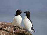 Razorbill (Alca Torda) Pair, Iceland, Polar Regions Photographic Print by James Hager